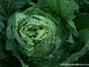 Asian Cabbage