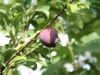 Red Heart Plum Tree