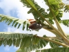 Manzano Banana Tree - Feb 2010
