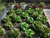 Different variety of lettuce