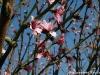 Peach Tree Blossoming
