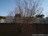 Peach Tree - April 2009