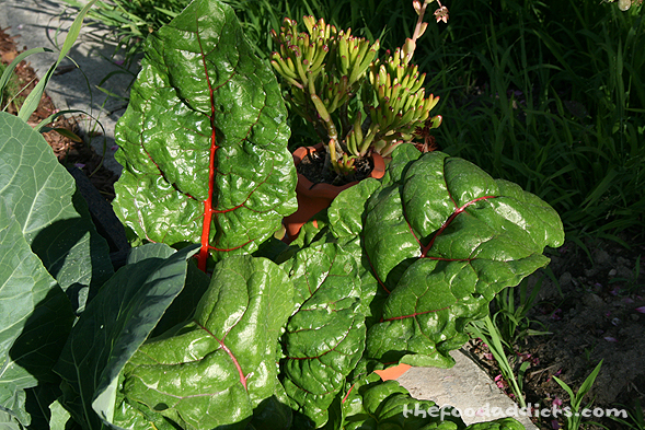 I noticed the Swiss Chard was getting huge in the backyard, so ended up cutting some to make with this dinner. I simply sauteed it with garlic, butter, olive oil, and a little bit of water to get it wilted down.