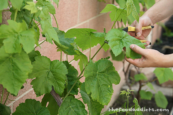 The grape leaves are so nice and delicate! We clipped about 20 grape leaves for this recipe. 