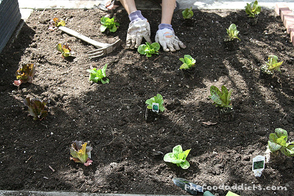 Back in March, we had posted this picture of us planting the different types of lettuce in our square patch. This was the size it came in from the nursery.